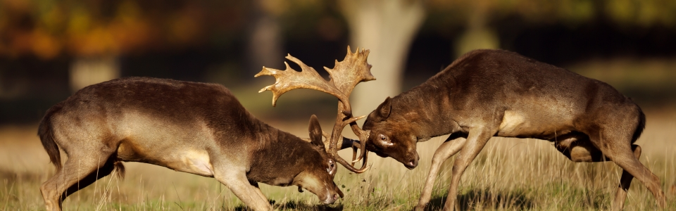 Two male fallow deer fighting during rut